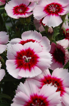 Фото-семена Гвоздика китайская  Диана F1 (Diana) Purple centered white