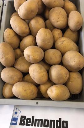 Фото- Семенной картофель Бельмонда(Belmonda) (І репродукция)