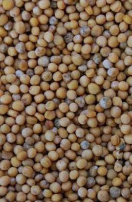 Фото-семена Сидерат Горчица белая
