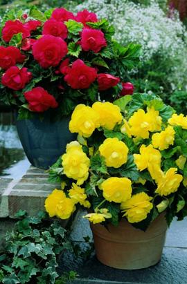 Фото-  Бегония Желтая махровая