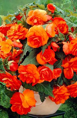 Фото-  Бегония Оранжевая  ампельная