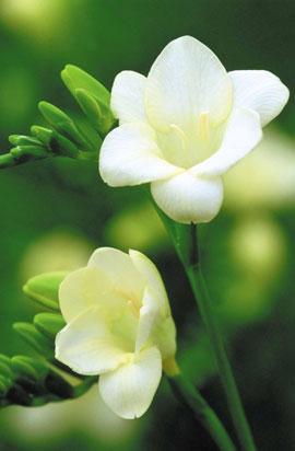 Фрезия простая  White размер луков. 5/+