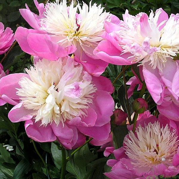 Пион травянистый  Bowl of Beauty (Боуль оф Бьюти)