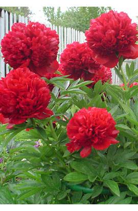 Пион травянистый  Red Supreme (Ред Суприм)