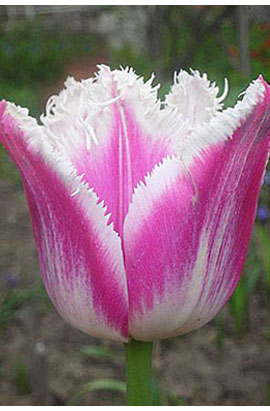 тюльпан фото сиеста