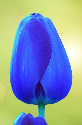 Фото-  Тюльпан Триумф Bleu Aimable (Аймейбл) 10/11.