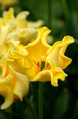 Фото-  Тюльпан Волнистый Yellow Crown (Еллоу Кроун) 10/11