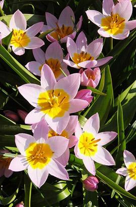 Фото-  Тюльпан Ботанический Lilac Wonder (Лилак Вандер) 5+