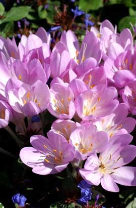 Фото- Колхикум (Безвременник) Cilicicum purpureum (Киликикум пурпурный)